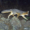 A grey fox is photographed by one of forty motion-activated cameras that were set up on undeveloped land west of Boulder and around Lyons in late September and early October. The cameras are part of a larger study of bobcats in the area by Jesse Lewis, a doctoral student at Colorado State University. Lewis said the cameras have already captured thousands of photos.