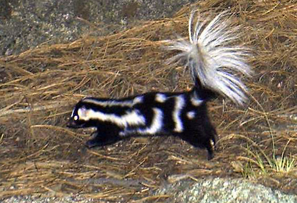 A spotted skunk is photographed by one of forty motion-activated cameras that were set up on undeveloped land west of Boulder and around Lyons in late September and early October. The cameras are part of a larger study of bobcats in the area by Jesse Lewis, a doctoral student at Colorado State University. Lewis said the cameras have already captured thousands of photos.