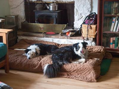 Premier Sheepdogs, fiercely guarding their mattresses.