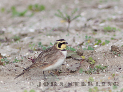 Horned Lark, Mission Bay, San Diego; November 2010