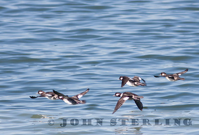 Bufflehead females, Berkeley