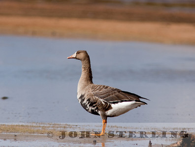 adult Greater White-fronted Goose; South Lake Tahoe