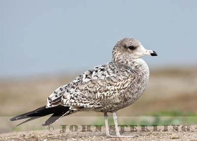California Gull, first-cycle