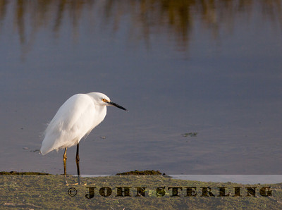 Snowy Egret, Tijuana River Estuary, San Diego
