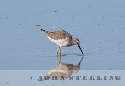 Stilt Sandpiper, Salton Sea; November 2010