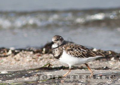 Ruddy Turnstone,  San Diego; November 2010