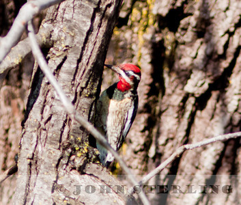 Red-naped Sapsucker, male, Chico, Butte County; January 2011