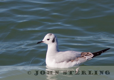 Bonaparte's Gull, Berkeley