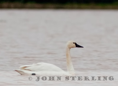 Tundra Swan in Yuba County