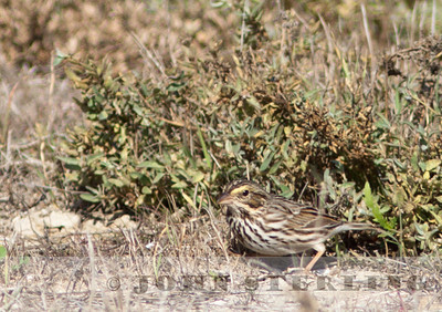 Belding's Savannah Sparrow, Fiesta Island, Mission Bay, San Diego; November 2010