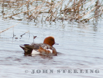 Eurasian Widgeon at Gray Lodge