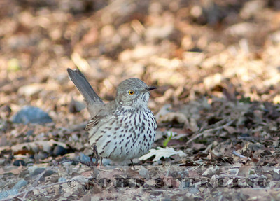 Sage Thrasher in Yolo County; January 4, 2011