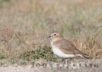 Mountain Plover, Mission Bay, San Diego; November 2010