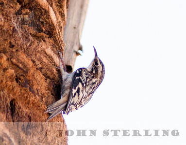 Brown Creeper, Ramer Lake, Imperial County; November 2010; gray morph?