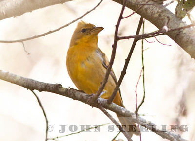 Summer Tanager, Oceano Park, San Luis Obispo County; November 2010