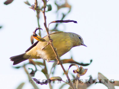 Orange-crowned Warbler; celata subspecies