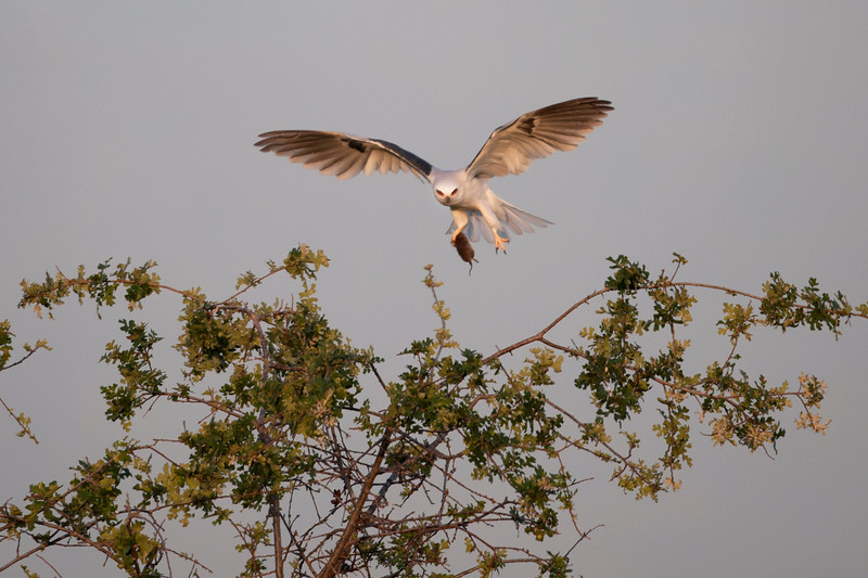 White Tailed Kite With Rodent
