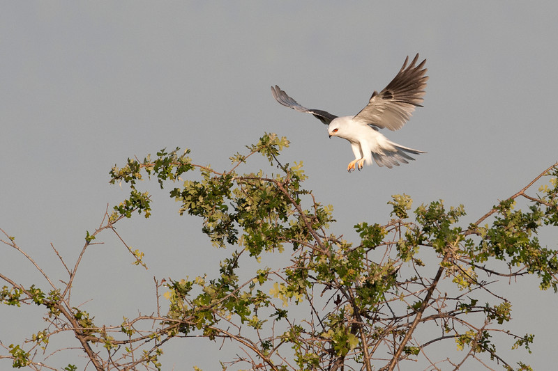 White Tailed Kite Touchdown