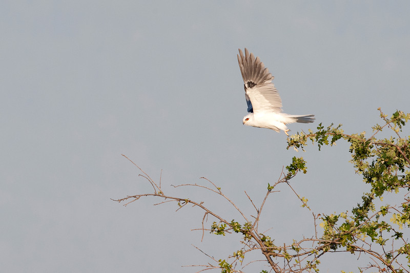 White Tailed Kite Liftoff