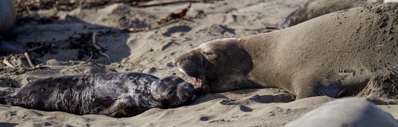 Elephant Seal Rookery, Piedras Blancas, CA