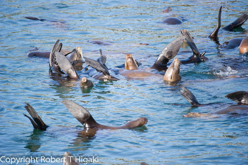 California Sea Lions- Thermo-regulating  by having their fins up in the air