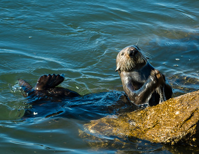 Californai Sea Otter works to break open a clam