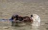 Large pup nursing in calm waters
