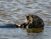 A Sea otter dines on shellfish
