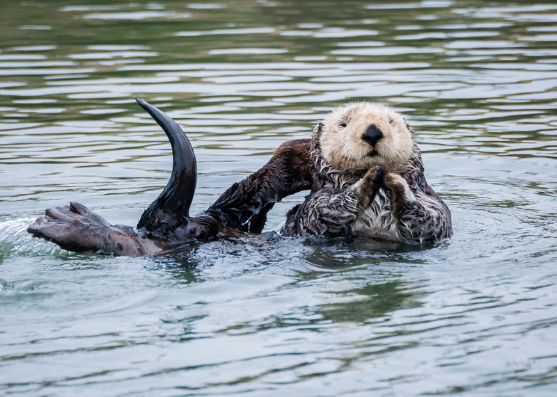 California Sea Otter plays in a quiet cove of Moss Landing