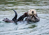 California Sea Otter plays in quiet cove of Moss Landing