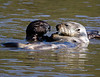 Otter pup begs for a morsel from its mother