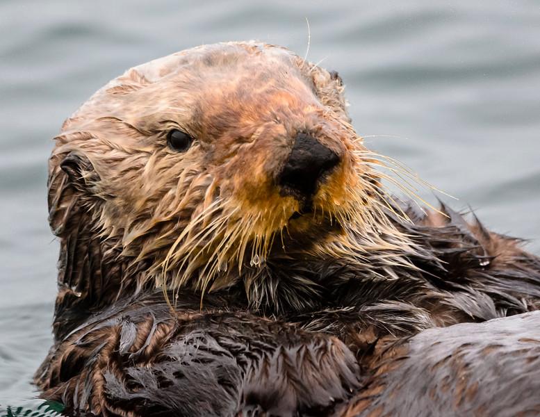 Sea Otter Close Up!
