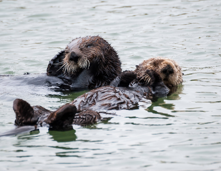 Resting Sea Otters