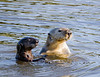 California Sea Otter Mother and pup pose for the camera