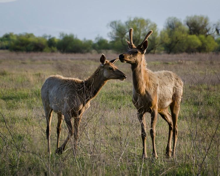 Tule Elk in Springtime