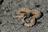 A young Northern Pacific Rattlesnake Wanders onto the road