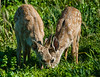 Two Fawns Share a Meal