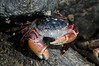 Foaming Purple Shore Crab