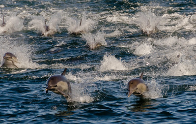 A pod of Long-beaked Common Dolphins flee in panic as killer whales approach from behind, underwater.