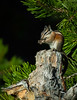 A Lodgepole Chipmunk enjoys a morsel in the sun