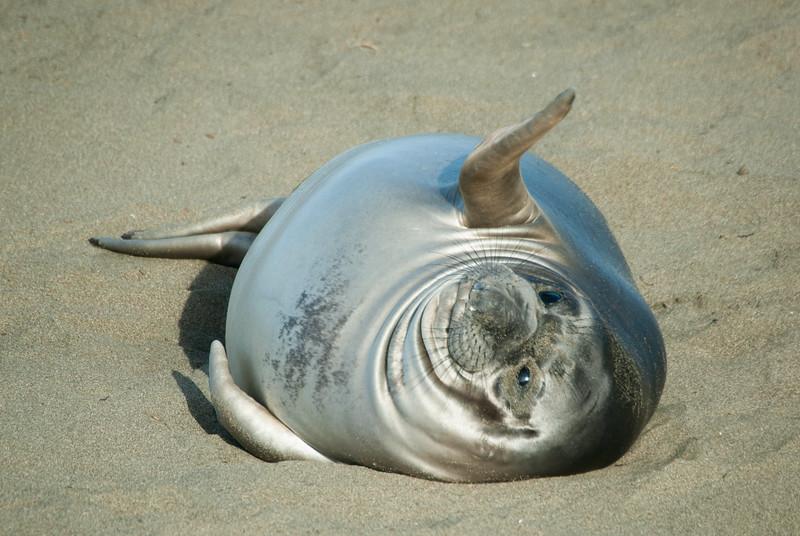 Waving Elephant Seal Weaner