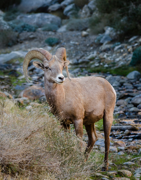 Peninsular Bighorn Sheep visits the spring