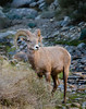 Peninsular Bighorn Sheep Visits the Spring At Anza-Borrego Desert State Park