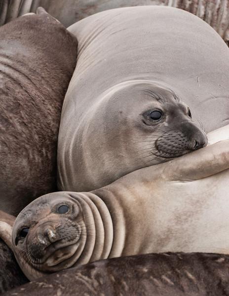 Elephant Seal Huddle