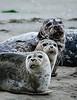 Harbor Seal Trio