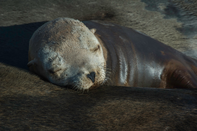 Sleeping Sea Lion Pup