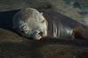 Sleeping Sea Lion Pup