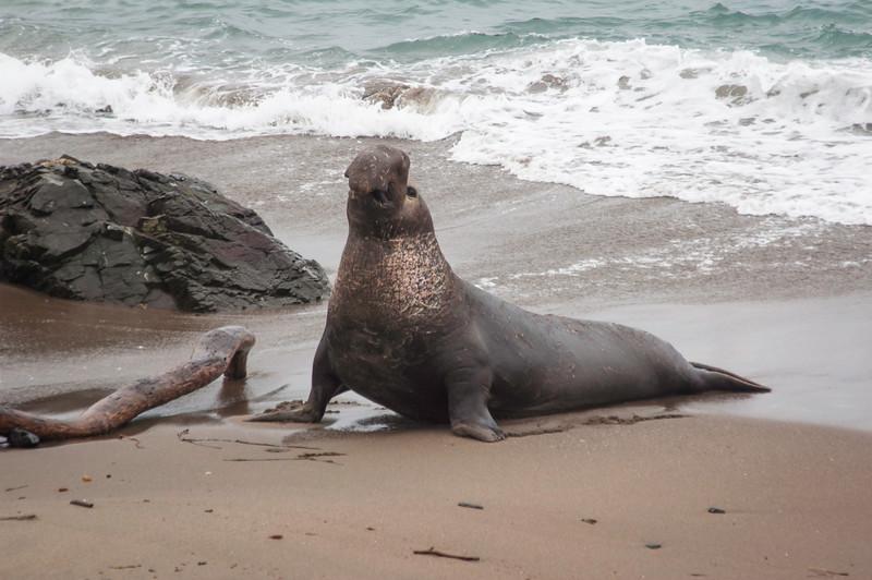 Elephant Seal Challenger