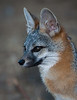 Gray Fox Profile