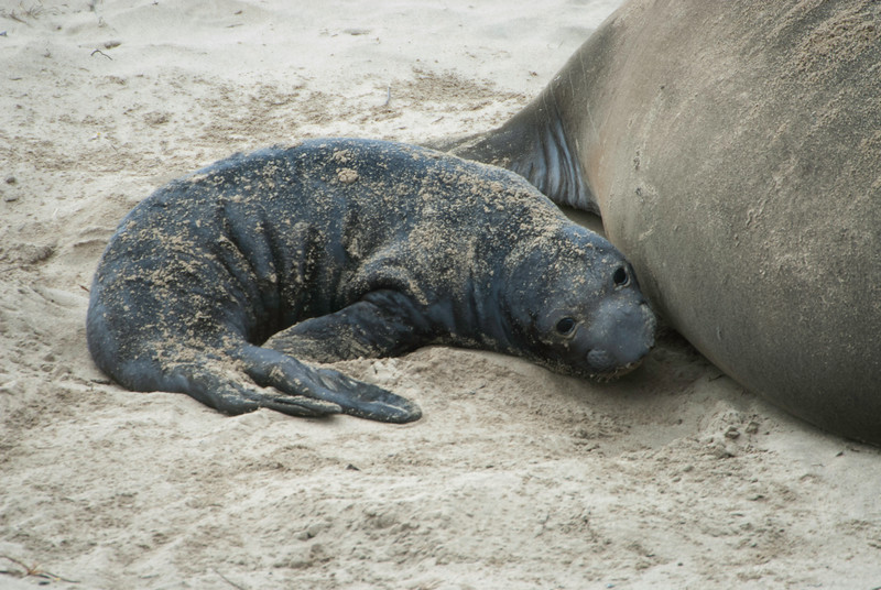 Young Elephant Seal Pup With its Mother